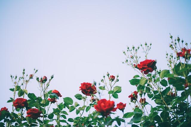 keř růží